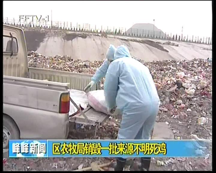 区农牧局销毁一批来源不明死鸡